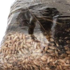 Mushroom Magic Grow Kit Substrate & Rye Seeds